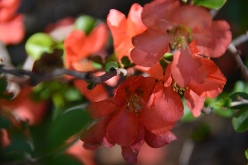 Quince blooms