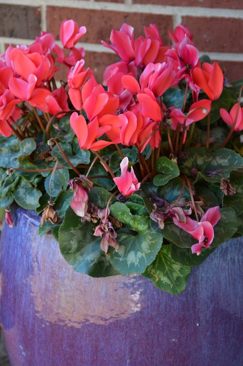 Cyclamen in blue pot