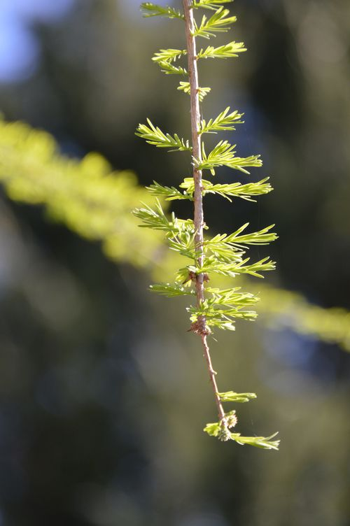 Closeup of Cypress leaves